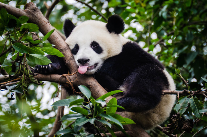 panda-with-tongue-out-istock_000018810497_large-2 (1)