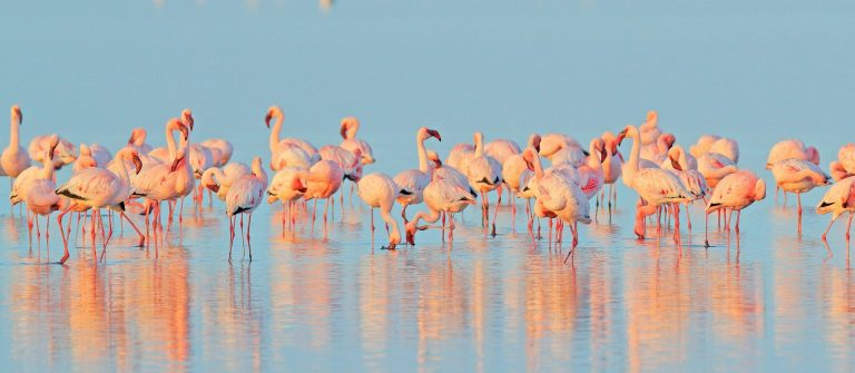 Flamingo-Phoeniconaias-minor-flock-of-pink-bird-in-the-blue-water_Walvis-Bay-Namibia-in-Afric_shutterstock_1241772892
