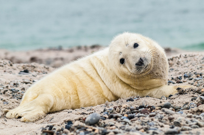 baby-grey-seal-halichoerus-grypus-relaxing-on-the-beach-istock_26502016_large-2