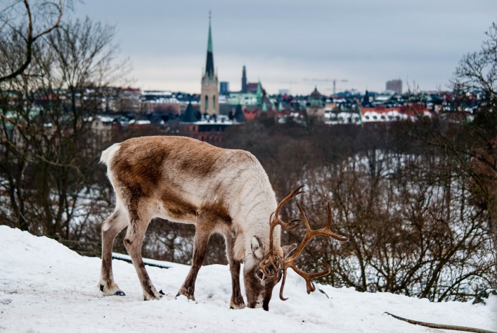 A deer in Skansen park with a view of Stockholm behind.