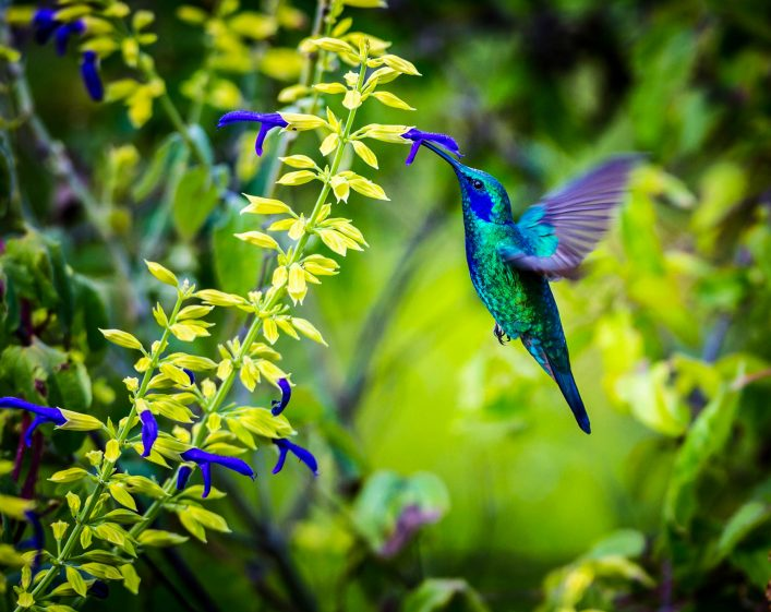 the-incredibly-beautiful-green-violet-eared-hummingbird-shutterstock_315763277-2-1