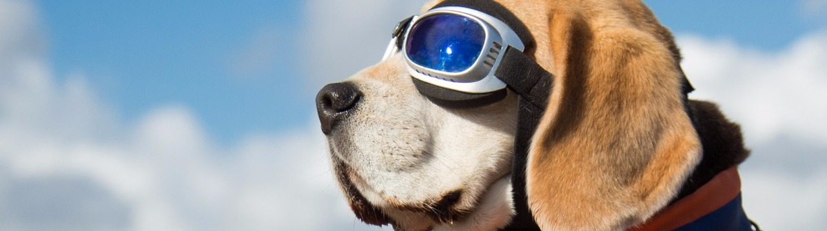 Beagle dog wearing blue flying glasses