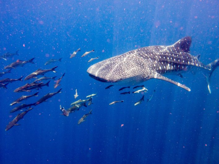 Whale Shark (Rhincodon types) Cobia Wahoo (Rachycentron canadum) Symbiotic Relationship