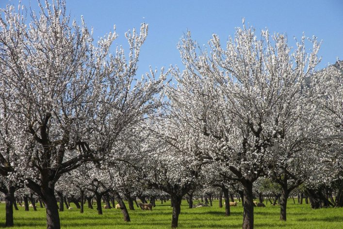 almond-blossom-in-the-spring-on-the-island-of-majorca-shutterstock_603847727-2-e1546846632480