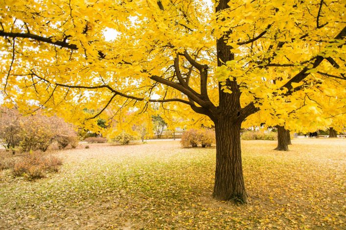 shutterstock_451042195_Golden-leaves-of-gingko-trees_1920_tiny