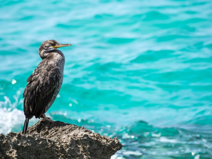 great-cormorant-at-es-trenc-beach-near-campos-with-turquoise-clear-water-majorca-spain-shutterstock_442532740-2